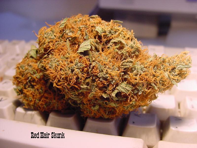 SKUNK RED HAIR Quella a cui potrebbe assomigliare la cannabis Calabrese, non essendo prodotta da nessuno UFFICIALEMENTE non è possibile reperire foto ufficiali